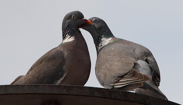 Pigeons gossiping