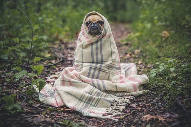 Bundled up pug